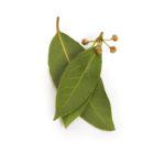 Bay Leaves Seedlingcommerce © 2018 8219.jpg