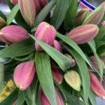 Oriental Lillies – Pink